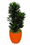 Chicago-office-plants-compacta-cane-ful2l