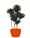 Chicago-office-plants-compacta-cane-full copy