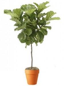 Ficus Lyrata Office Plant